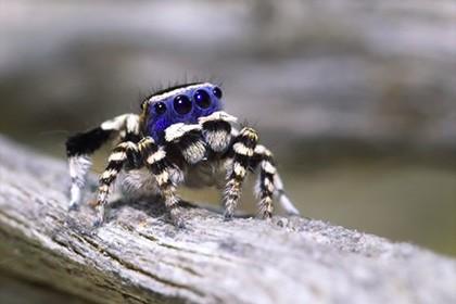 В австралии обнаружили новый вид пауков. видео