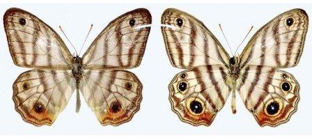 В честь дэвида аттенборо назвали новый вид бабочек