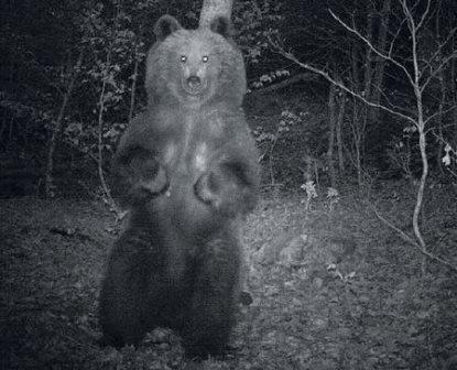 В испании встревожены сексуальной активностью доминантного медведя
