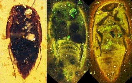 В янтаре найдены древнейшие жуки-паразиты общественных насекомых