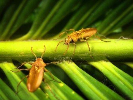 В янтаре нашли жука-опылителя