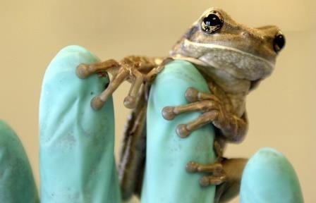 В эквадоре открыли новый вид лягушек