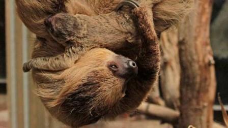 В лондонском зоопарке родился ленивец. видео