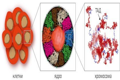 В мгу раскрыли тайну механизмов самоорганизации в живой клетке