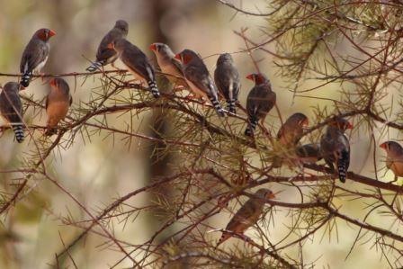 В жару зебровые амадины поют невылупившимся птенцам развивающие песни