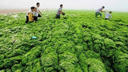 Власти сша разрешили ученым проверить гмо-водоросли в полевых условиях