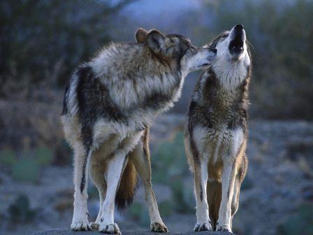 Волки и собаки – кто же демократичнее