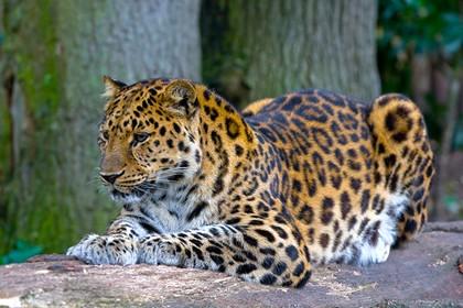 Впервые: видео брачных игр амурского леопарда