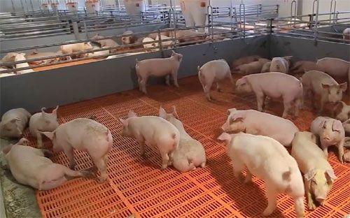 Все свинокомплексы «ариант» отнесены к высшему зоосанитарному статусу - «челябинская область»
