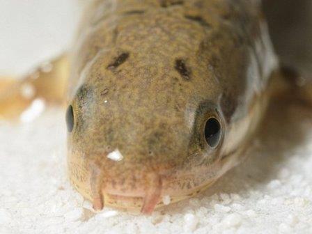 Выход рыб на сушу повторили в лаборатории. видео