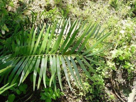 Жители кубы 2500 лет назад ели ядовитое растение