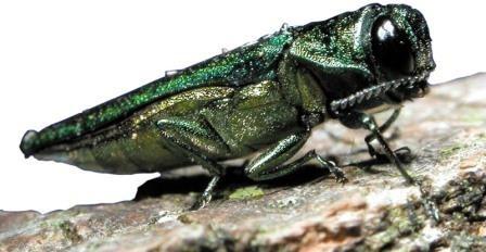 Жуки-приманки убивают электричеством самцов, которые хотят с ними спариться