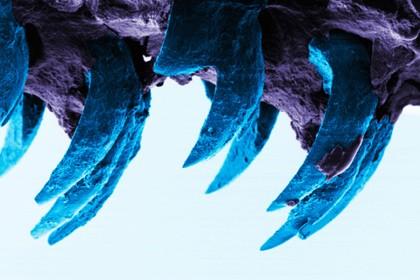 Зубы морских блюдечек оказались прочнейшим биоматериалом на земле